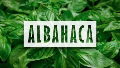 Cultivo de Albahaca