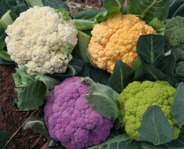 Coliflor-como-sembrar
