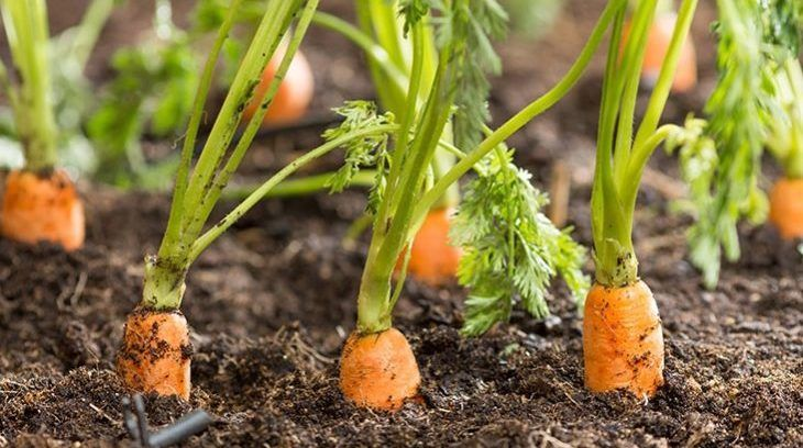 sembrar-zanahorias