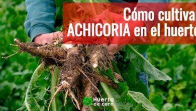 Sembrar Achicoria - Radicheta