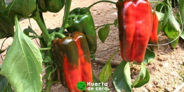 Cultivo de pimientos