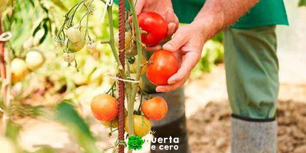 Colocar tutor a los tomates